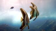 Tallfin Batfish (Platax teira) aka Longfin Spadefish shoal, Phi Phi, Thailand