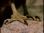 Talons of bird of prey, Arizona