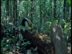 Tamandua walks towards camera along fallen tree as it looks for ants, Brazil