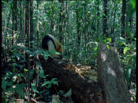 Tamandua walks towards camera along fallen tree as it looks for ants, Brazil