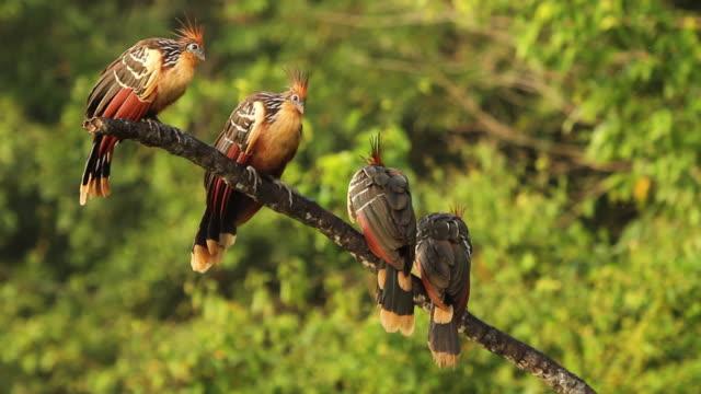 Tambopata National Reserve, Madre de Dios-Peru