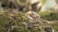 Tamias sibiricus(common chipmunk) in Hokkaido