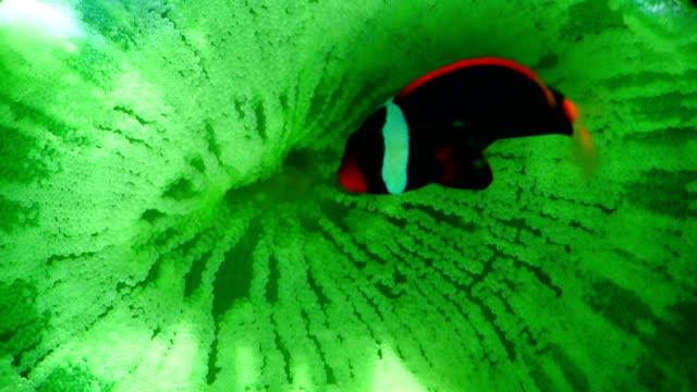 Tang on reef