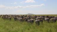 Tanzania, Serengeti national park, a big herd of common zebra grazing in the plains