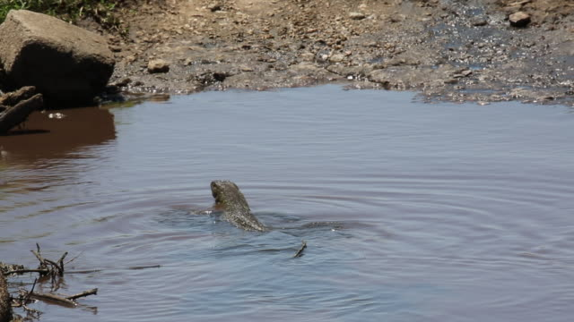 Tanzania, Serengeti national park, a nile monitor – a nile monitor swimming in and out a puddle