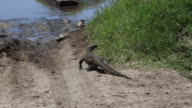 Tanzania, Serengeti national park, a nile monitor walking on the ground