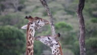 Tanzania-Arusha national park-two giraffes eating leaves from tree - heads close -up