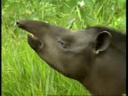 CU Tapir sniffing