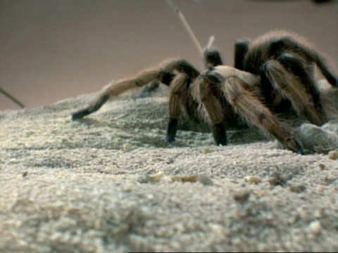 CU Tarantula on sand ground walks towards camera then to left
