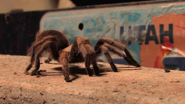 MS Tarantula (Aphonopelma iodius) walking in front of Utah license plate. /Utah, USA