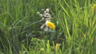 MS SLO MO Taraxacum officinale seeds being blown and dispersed by wind / Vieux Pont, Normandy, France