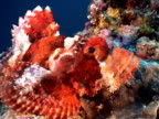 Tassled Scorpionfish at the reef