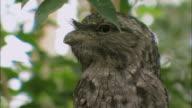 MS TU Tawny frogmouth bird sitting in tree / Australia
