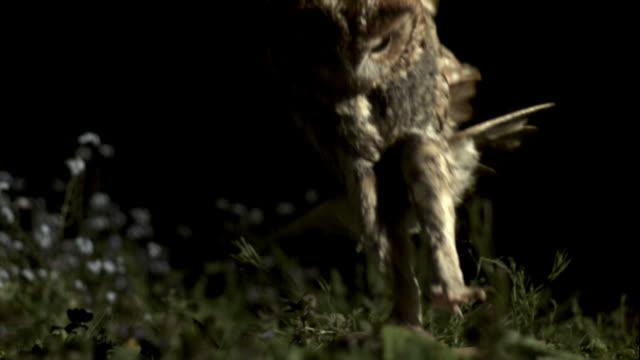 Tawny owl (Strix aluco) lands onto prey on ground, then takes off, UK