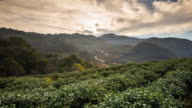 Tea field and sunrise