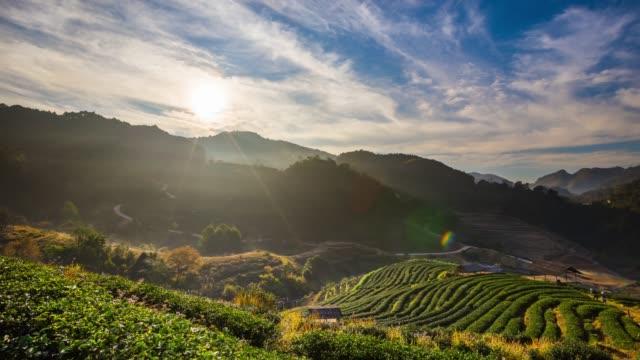 Tea field and sunrise