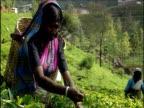 Tea picker with basket on back harvests crop in plantation Sri Lanka.