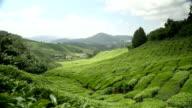 Tea plantation in Cameron Highlands Pahang