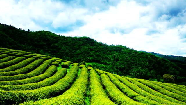 Tea plantation in clouding day.LR Pan,Full HD Time lapse
