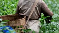 Tea plantation in Thailand.