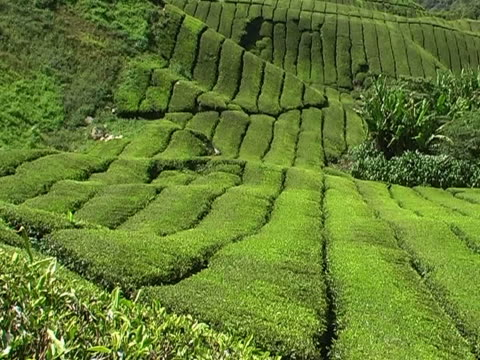 Tea plantation with palm trees