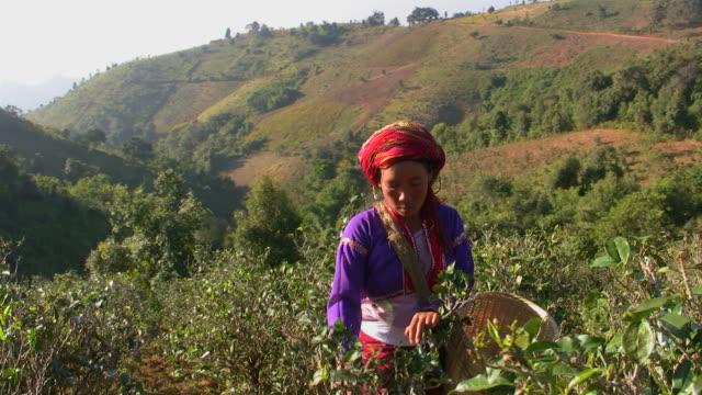 tea plantation_Tee_pfluecken4