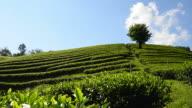 """Tea Plantations """"Mae Salong"""""""