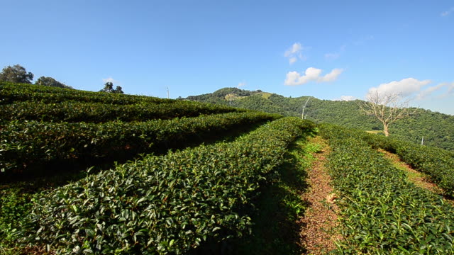 "Tea Plantations ""Mae Salong"""
