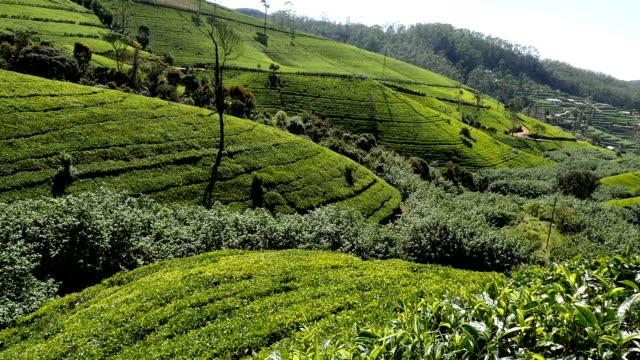tea terraces
