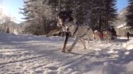 Team of dogs pulls sled along snowy path