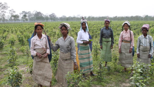 Team of female tea collectors standing in the middle of the plantation for the camera Kalabari Tea Garden village is located in Nagrakata Tehsil of...