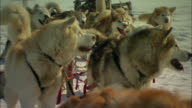 A team of sled dogs wags their tails in anticipation.