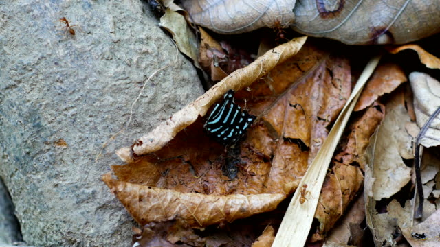 Teamwork of ants carrying butterfly wing back to hive