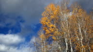 Telephoto shot of aspen trees and golden leaves blowing in the wind with puffy clouds in sky.