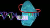 Telomerase enzyme.