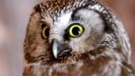 Tengmalm's Owl, Aegolius funereus, Portrait, Bavarian forest, Bavaria, Germany