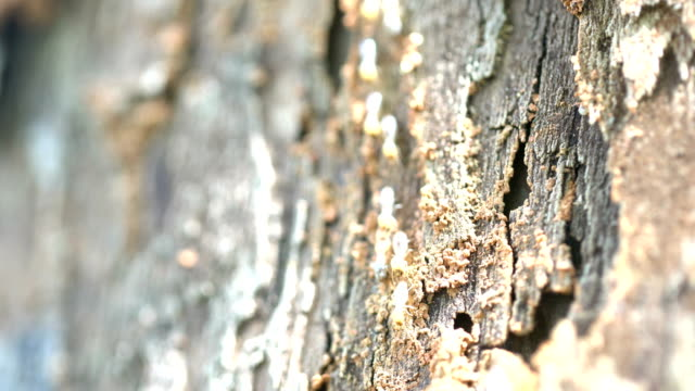 termites travel on the wooden tree