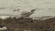 Tern looking for food