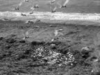 Terns feast on the rejected fish from a catch on Chesil Beach 1956