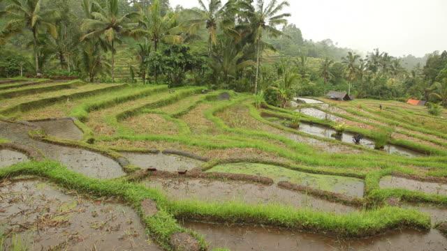 WS Terraced field / Bali, Indonesia