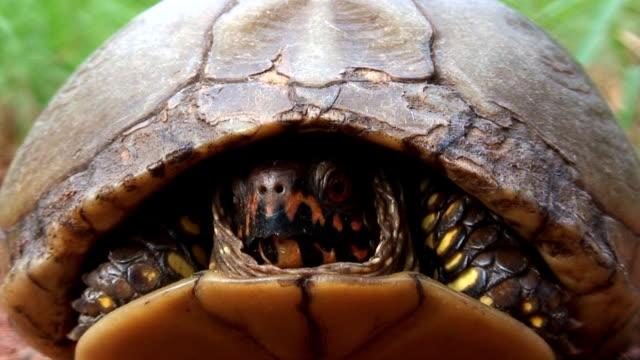 Terrapene Turtle
