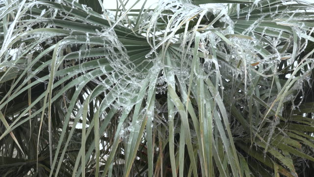 Texas Alpine icy palm branches zoom in