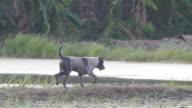 Thai dog playing.
