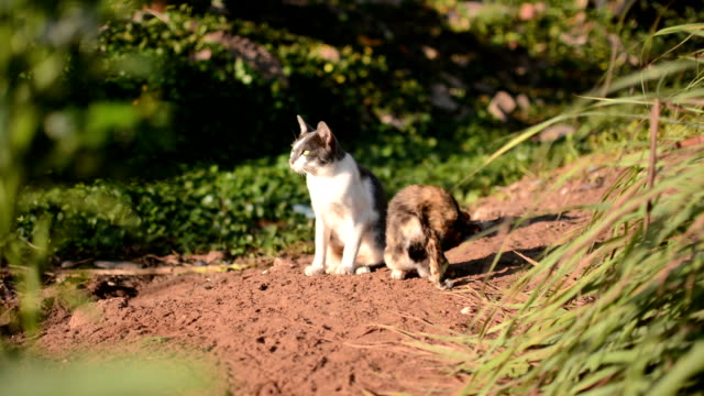 Thai domestic cats