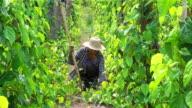 Thai Farmer Working On Plantation
