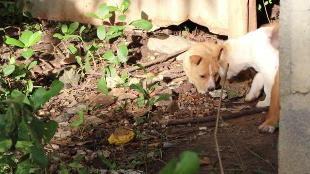 Thai Puppies on Rural Ground.