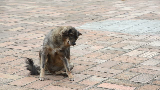 Thai street dog