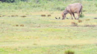 Thai Water buffalo