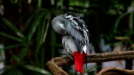 Das African Grey Parrot (Psittacus erithacus)
