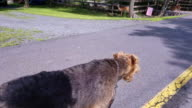 The Airedale terrier walking on the community road near by the group of feeding deer